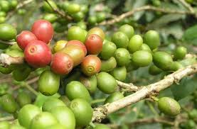 Green coffee for weight lost, Click here to know more!